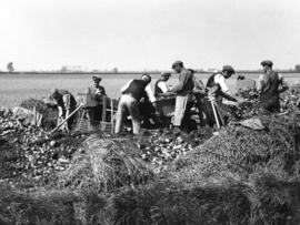 Potato Riddling, Marshland Fen, Norfolk