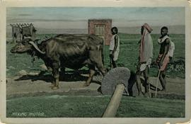 Two oxen mixing mortar
