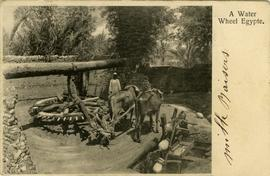 Two oxen turning a waterwheel in Egypt