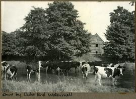 Cows by Duke End Watermill