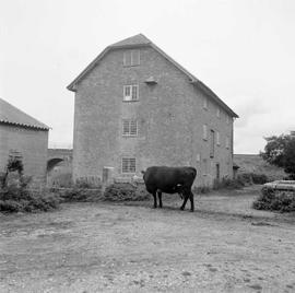 West Mill, Wareham, with a cow in the foreground