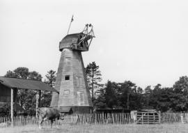 Crampton's Mill, Sissinghurst, Cranbrook, derelict with neighbouring cow