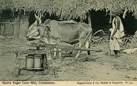 Two oxen working a sugar cane mill